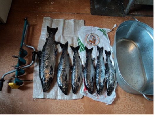 как ловить лосося на онеге